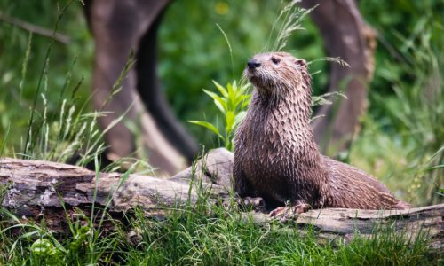 Sea otter sitting on a piece of driftwood surrounded by green grass
