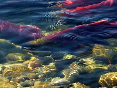 Sockeye salmon spawning in river