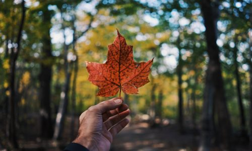 person holding maple leaf in forest