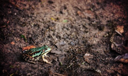 green frog sitting on muddy ground