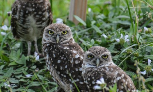 three spotted owls sitting among green vegetation
