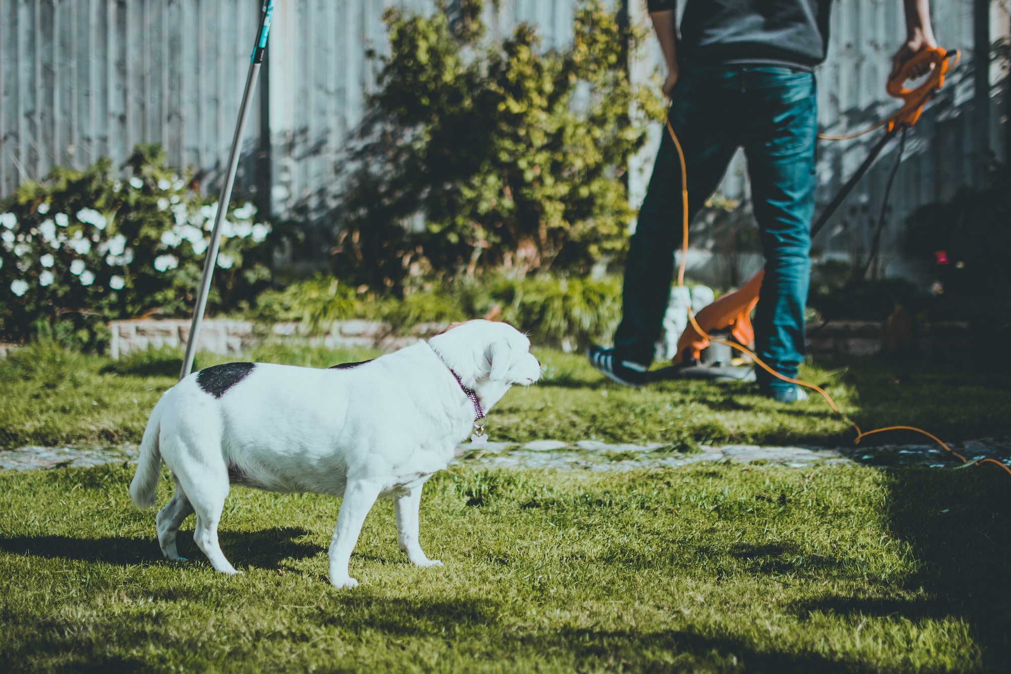White dog in backyard with person mowing lawn