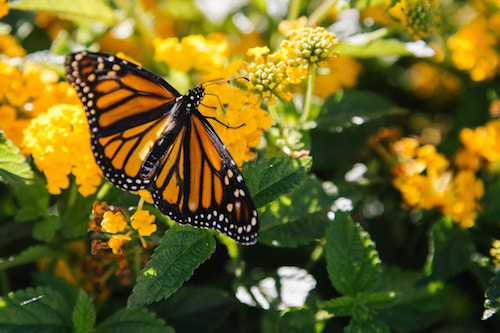 monarch butterfly surrounded by yellow flowers and green leaves