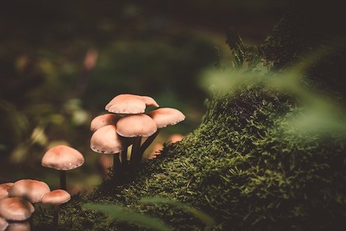 Yellow mushrooms growing from a mossy tree
