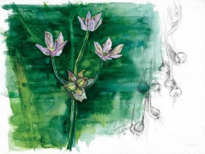 Wild Garlic Sketch