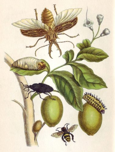 Illustration of bugs and fauna by Maria Sibylla Merian