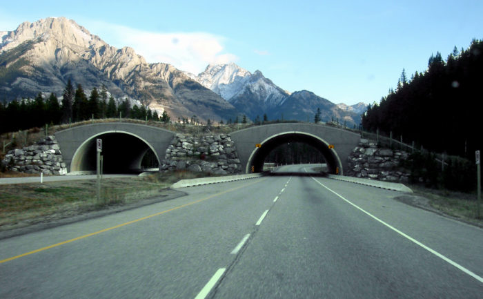 Wildlife overpass crossing along Trans-Canada Highway