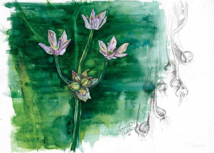 Wild garlic sketch
