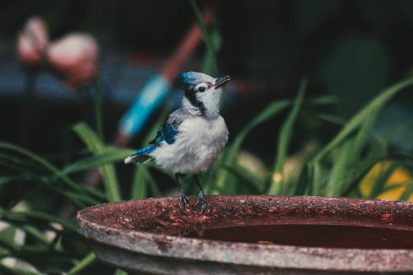 Blue and grey bird standing in bird bath