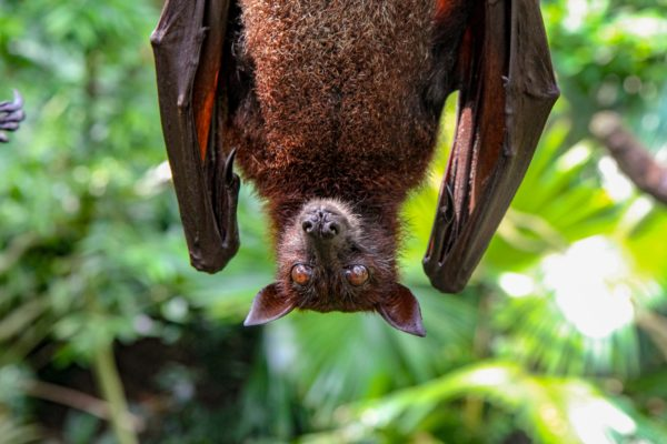 Brown bat hanging upside down with green plants behind