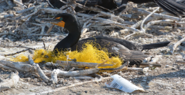 Double-crested cormorant sitting in a nest of plastic