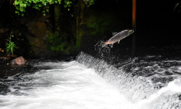 Fish leaping from river as it swims upstream