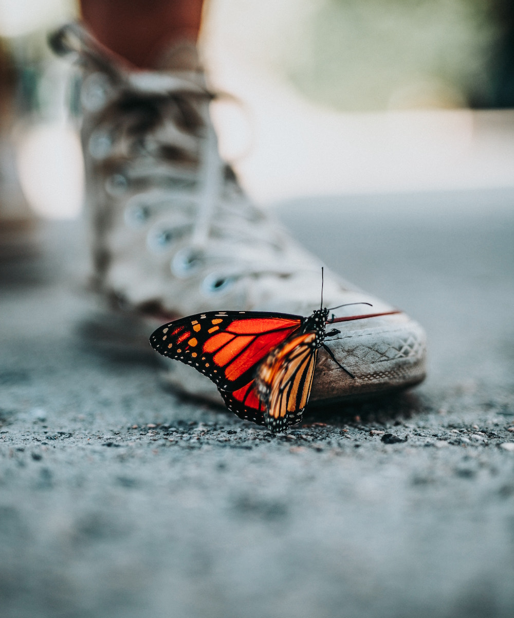 Monarch butterfly perched on a person's white converse shoes