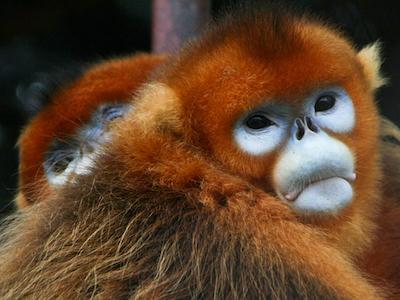 Golden_Snub-nosed_Monkeys