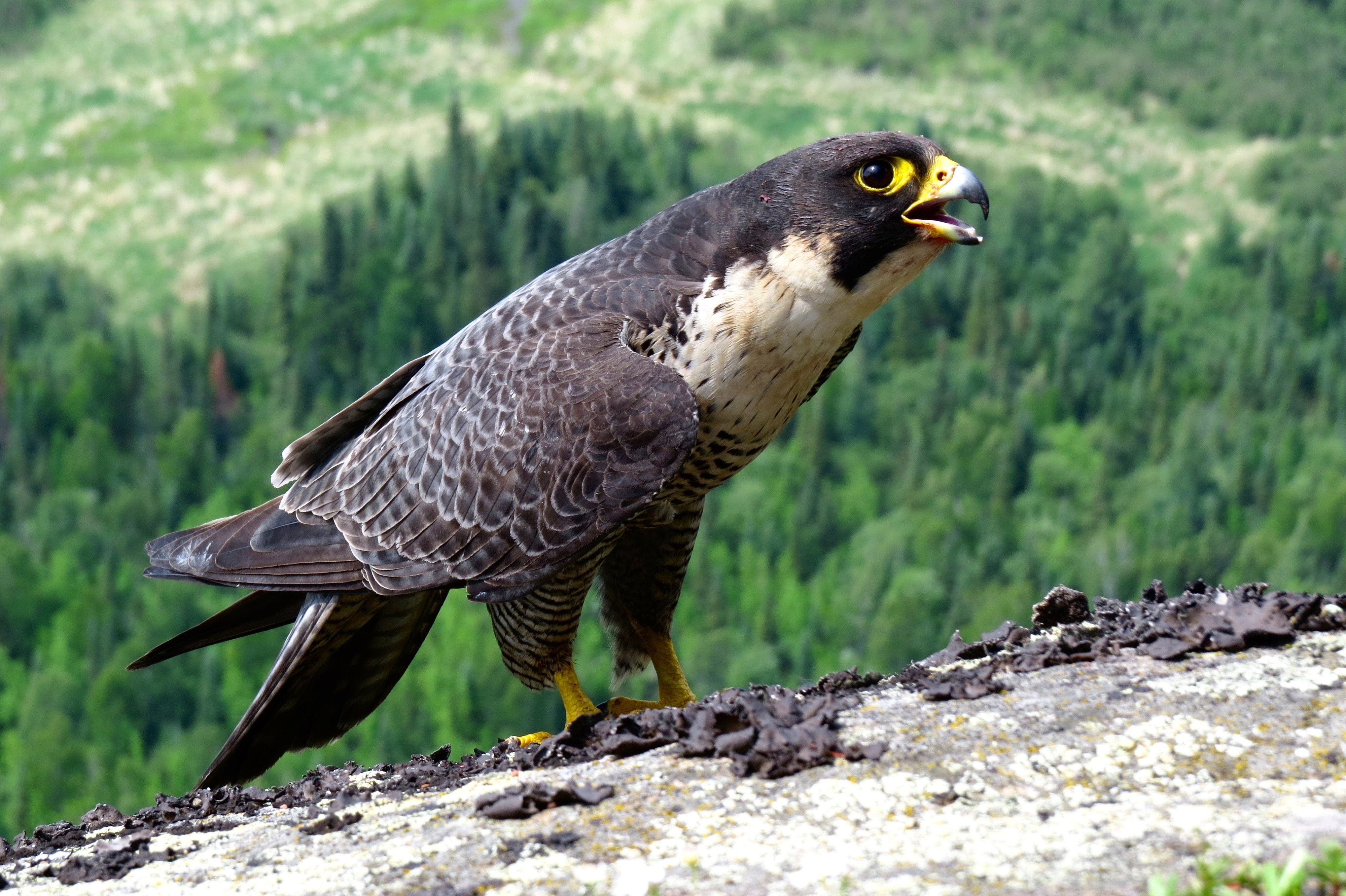 Peregrine falcon perched on branch overlooking forest