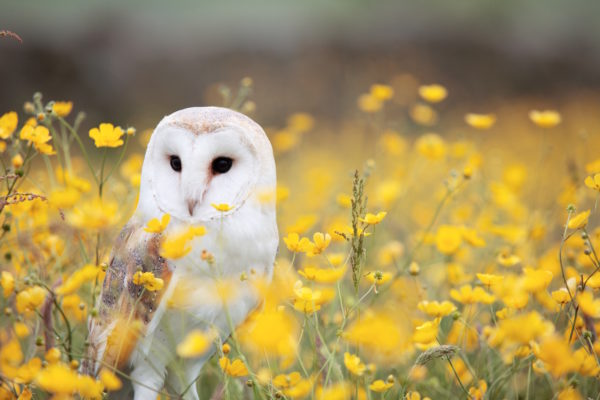 White and brown owl surrounded by yellow flowers
