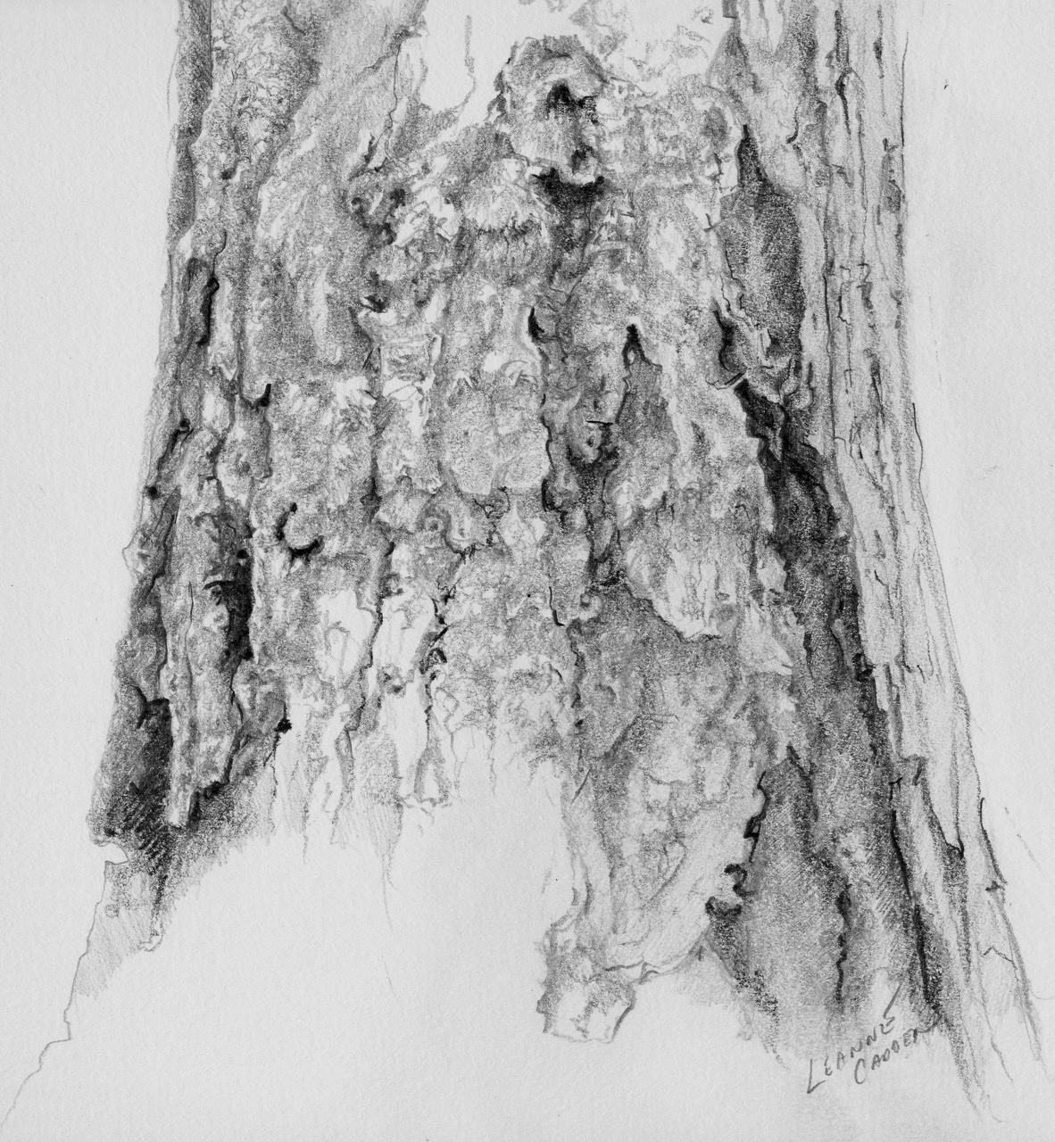 Douglas fir tree sketch