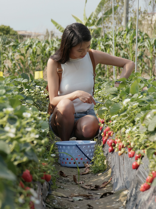 Woman picking strawberries