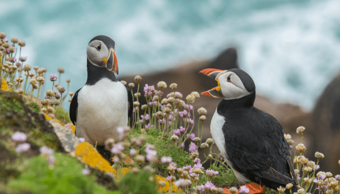 Two atlantic puffin sitting on cliff with pink flowers
