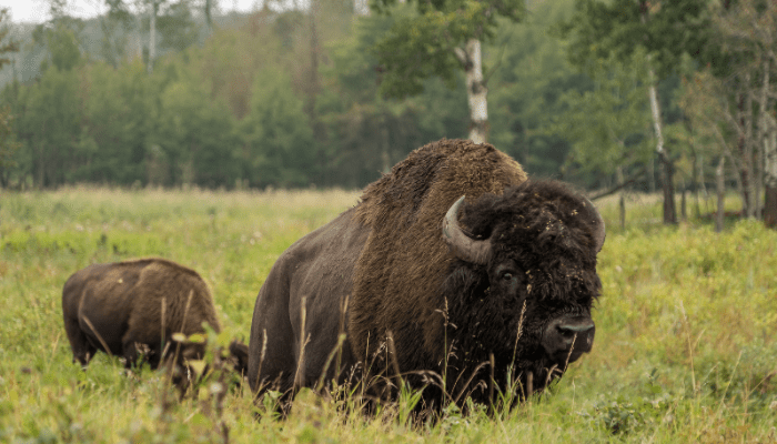 Two bison in a grassy field