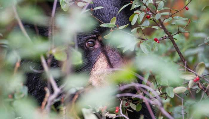 Black bear hiding in a bush with red berries