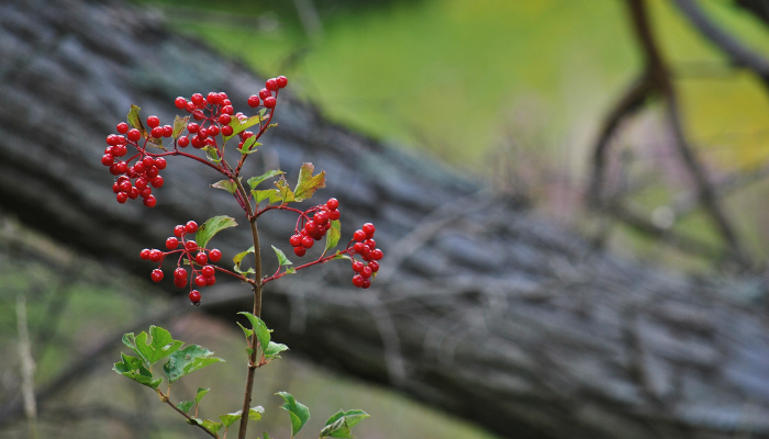 High bush cranberry near log