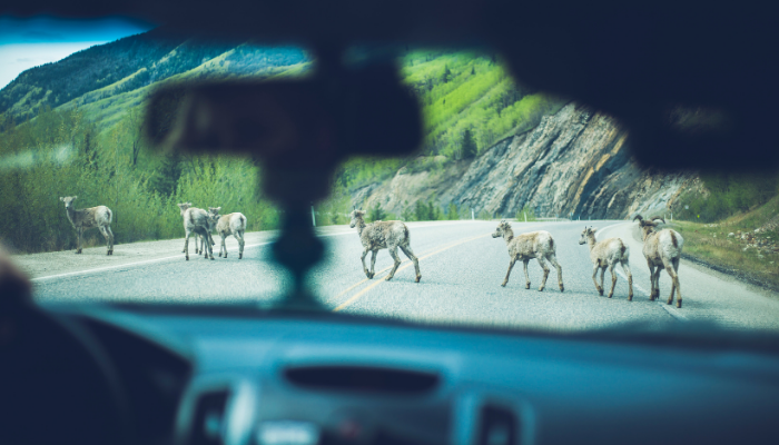 Bighorn sheep crossing the highway in mountains