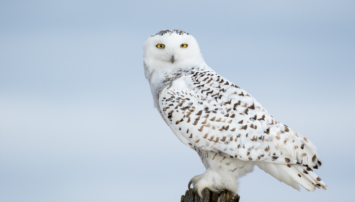Snowy owl perched on log