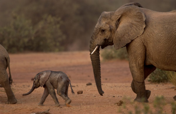 "Mali's ""desert elephants"" face adversity but survive thanks in part to Canadians."