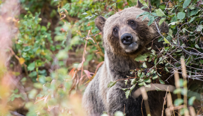 Grizzly bear in green shrubbery
