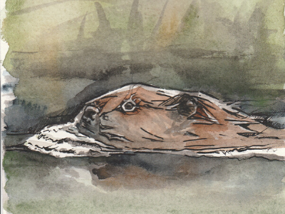 Illustration of beaver swimming in wetland