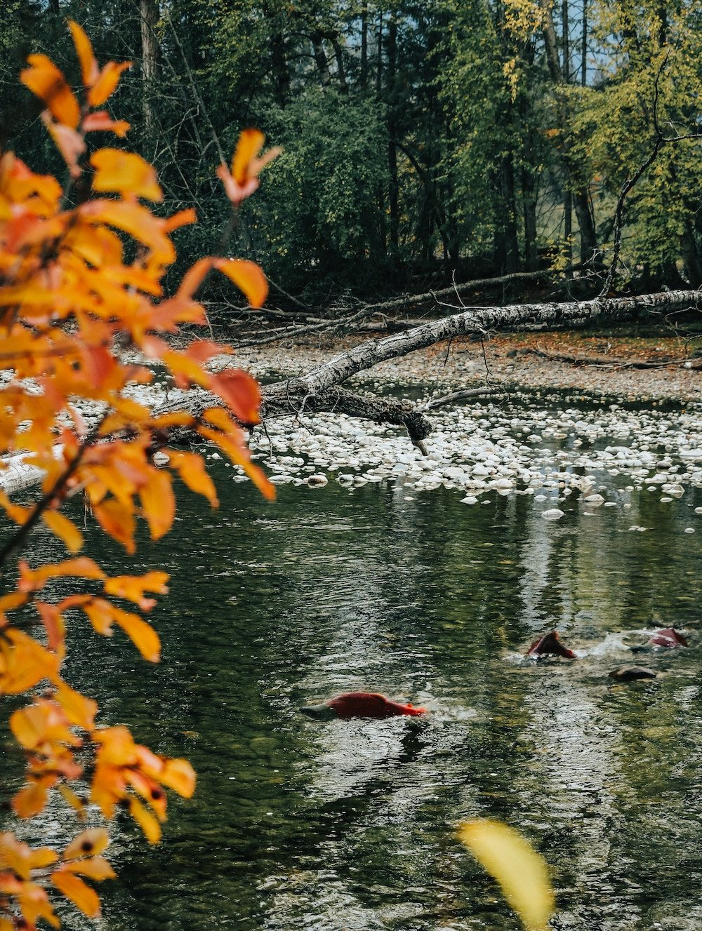Salmon spawning with orange leaves surrounding river