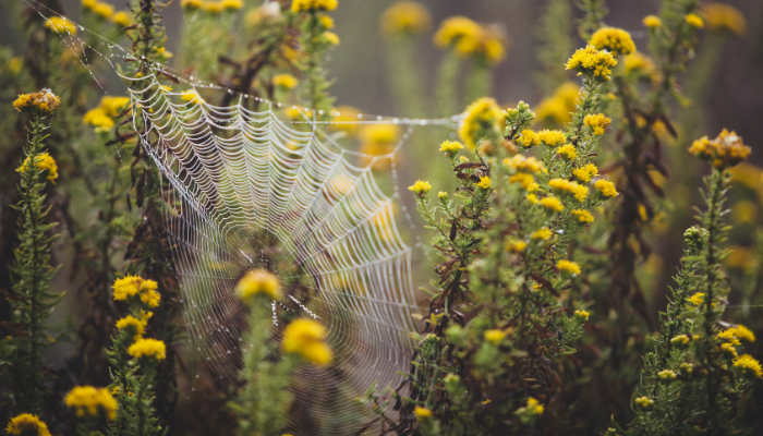 Spider web in yellow flowers