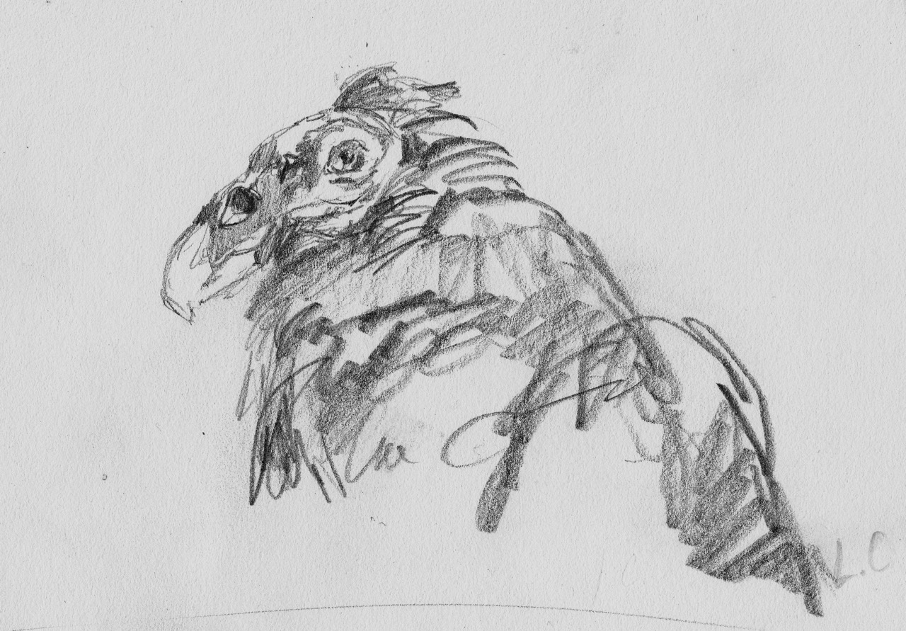 Turkey Vulture Gesture Sketch