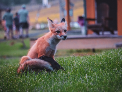 Fox sitting on grass near people
