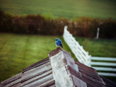 Blue bird perched on house