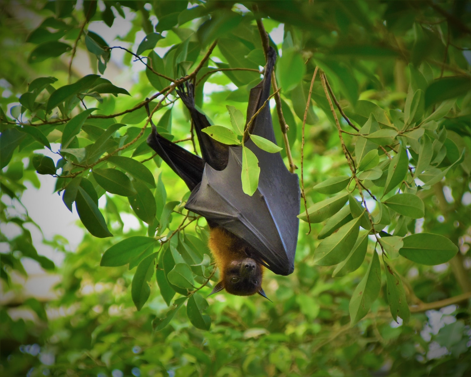 Bat hanging upside down from tree