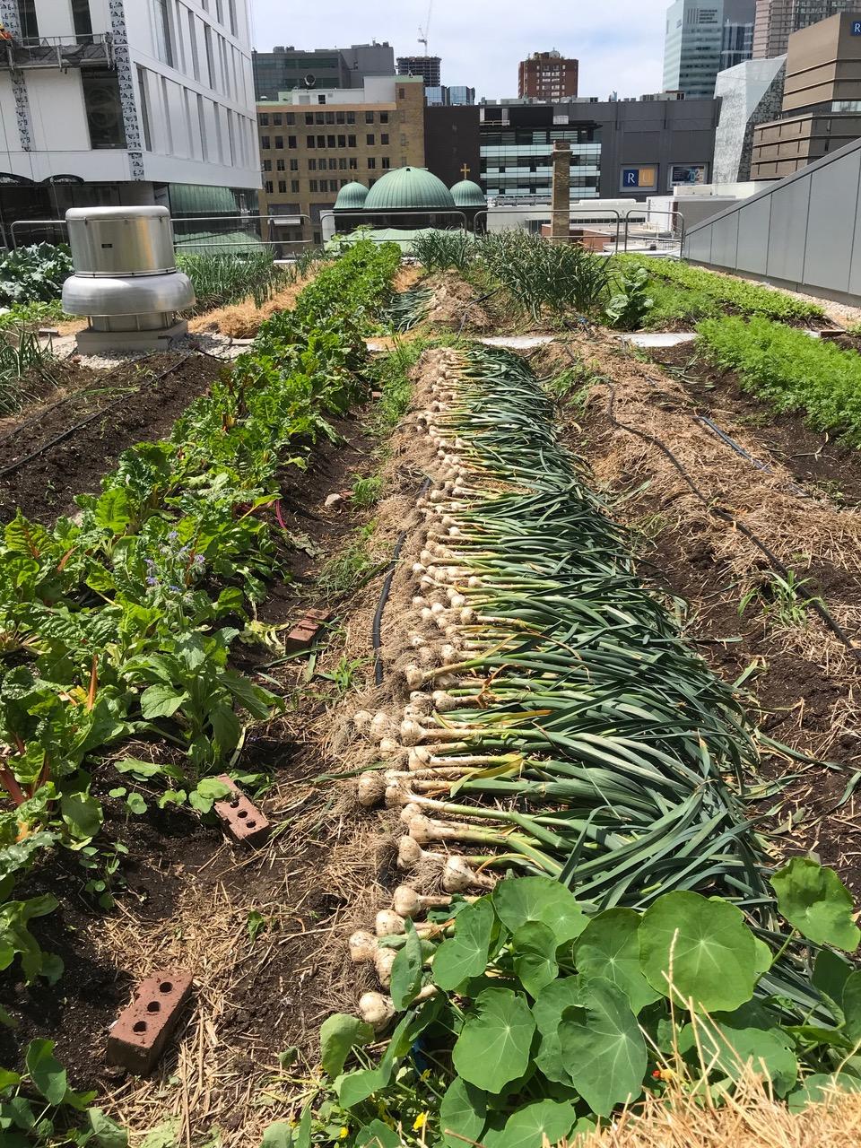 Ryerson green roof