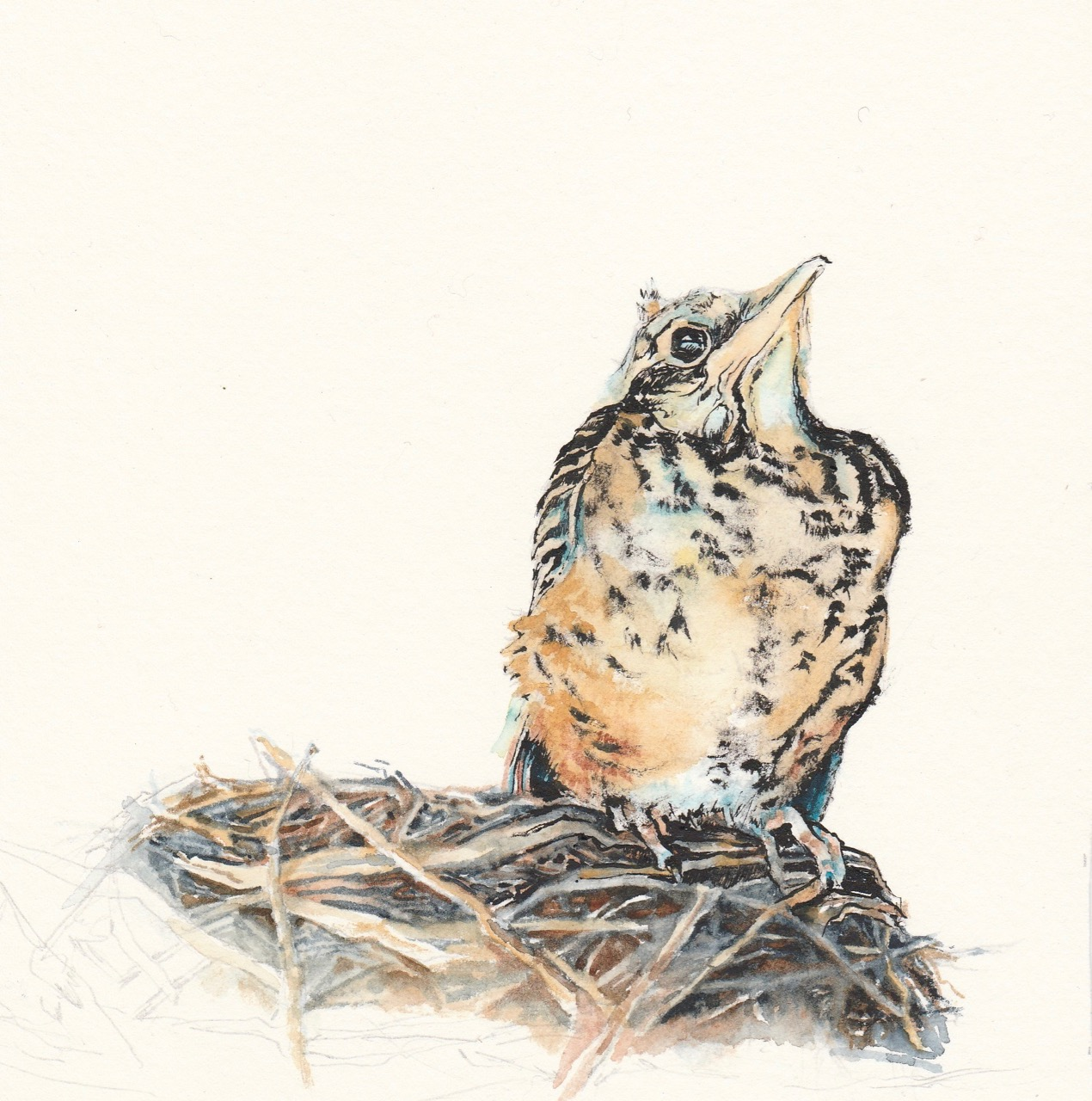 Sketch of robin nestling by Leanne Cadden