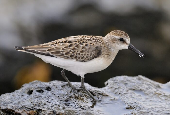 Semipalmated Sandpiper walking on rock
