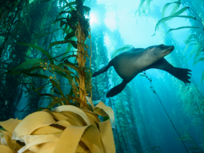 Seal swimming among kelp