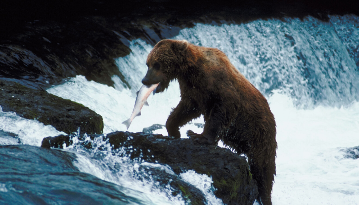 Bear fishing along waterfall