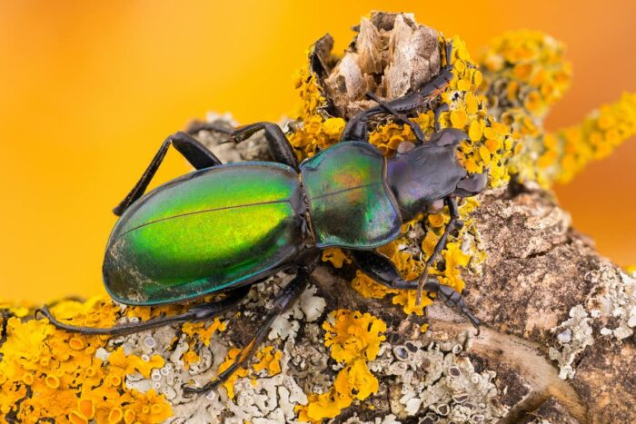 Pest-eating wildlife, such as this carabid beetle, can benefit crops. (Shutterstock)