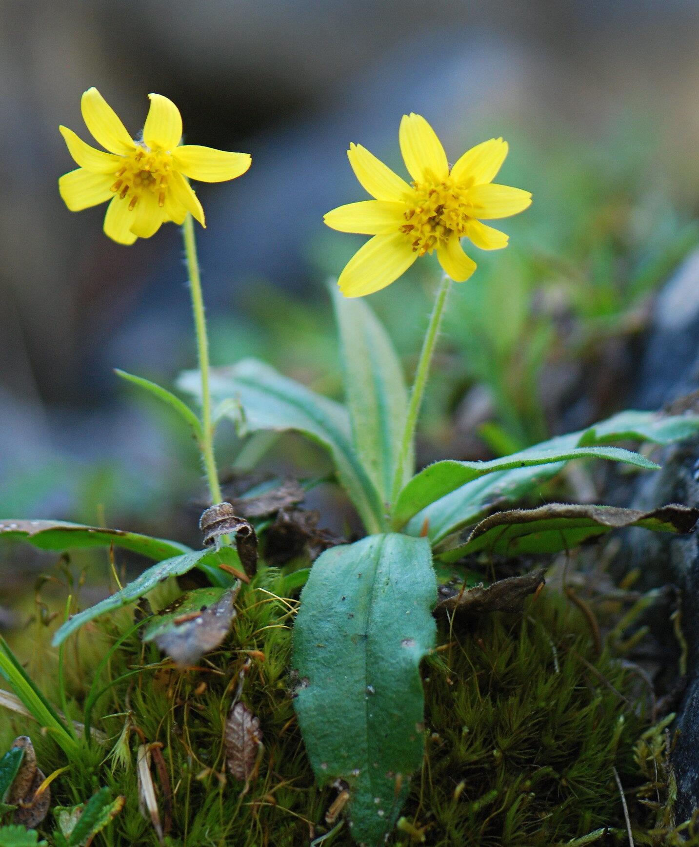 Lake Louise arnica yellow flower