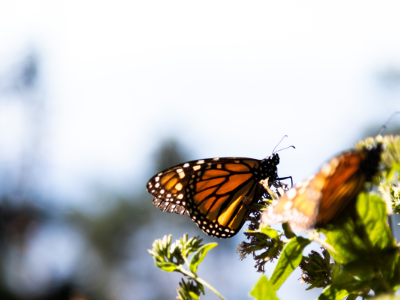 Monarch Migration Reflections: Connecting Nature and Place