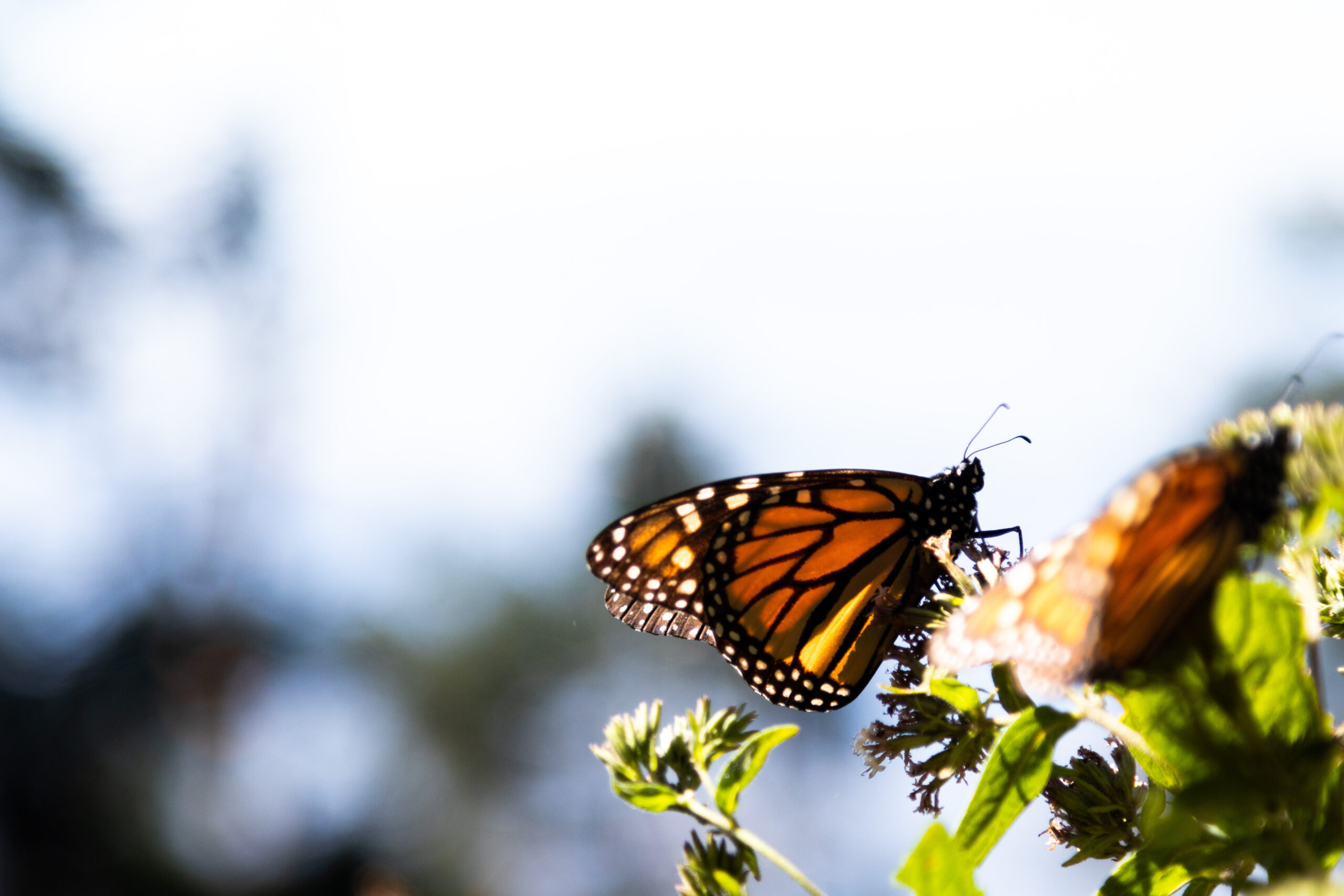 Monarch butterfly resting on plant