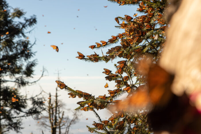 Monarchs covering the oyamel fir trees