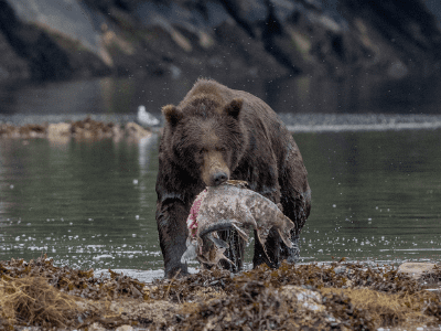 Bear holding salmon near river