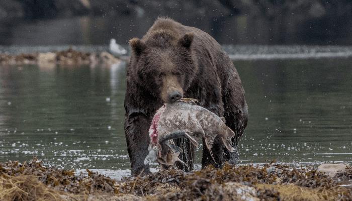 Bear holding salmon near river