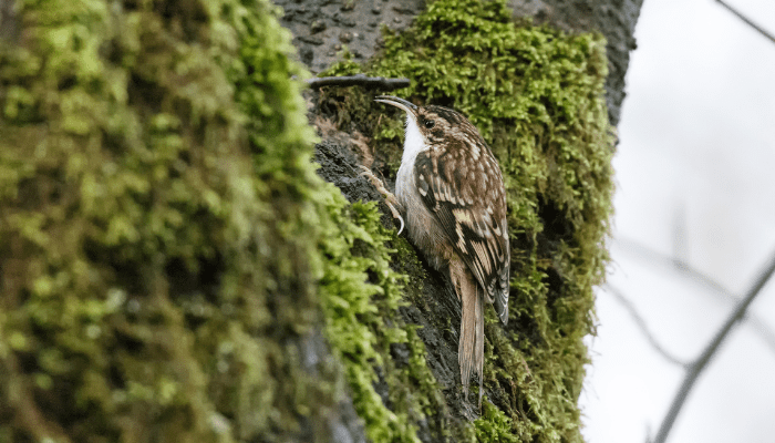 Brown creeper song bird on moss covered tree
